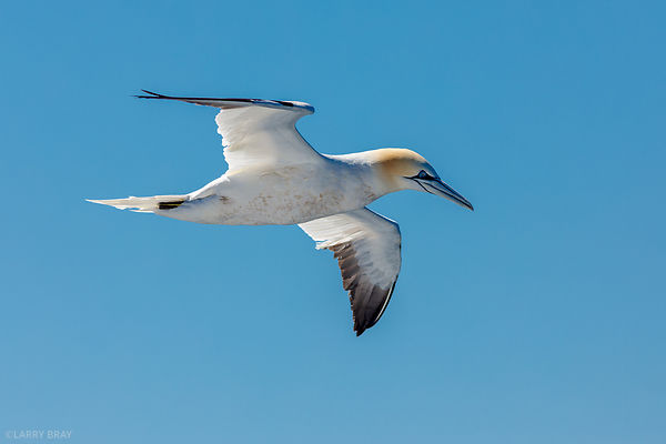 Gannet in Atlantic Ocean