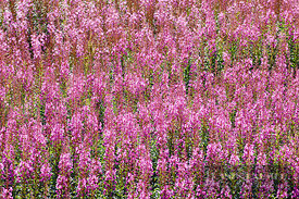 Fireweed  (lat. epilobium angustifolium) - Europe, United Kingdom, Scotland, Moray, Cromdale - digital