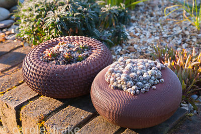 Terracotta planters of succulents on a retaining wall in the front garden at Terstan, Stockbridge, Hants, UK