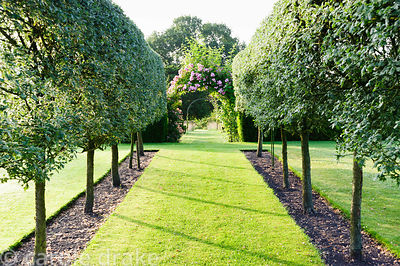 Allee of pleached crataegus. Felley Priory, Underwood, Notts, UK