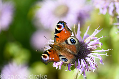 Peacock butterfly, Aglais io, on Monarda fistulosa at Cambo Gardens, Fife, Scotland in September