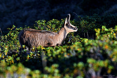 photos of chamois in France