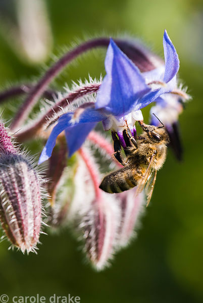 Borage with bee, Borago officinalis. Kingston Maurward Gardens, Dorchester. Dorset, UK
