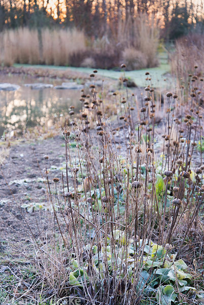 Seedheads of Phlomis russeliana on a frosty morning at Ellicar Gardens, Notts