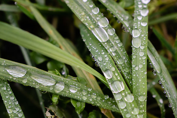 Raindrops on grass leaves