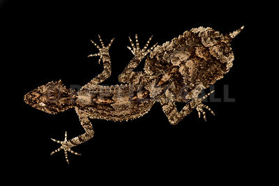 Central Queensland leaf-tailed gecko (Saltuarius salebrosus)