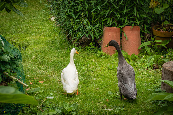 Two Indian Runner ducks in the garden