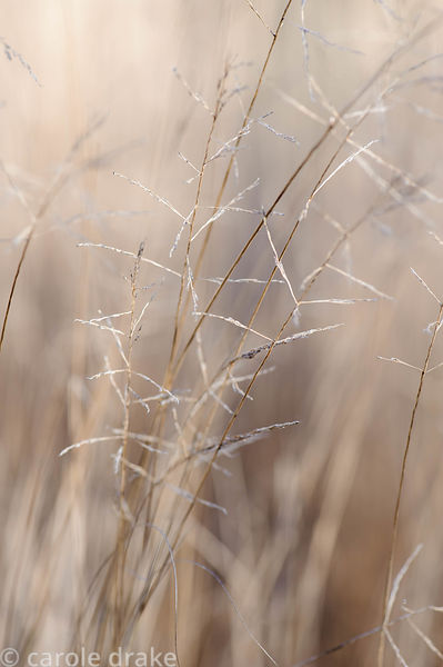 Eragrostis curvula 'Totnes Burgundy'. Barn House, Brockweir Common, Glos, UK