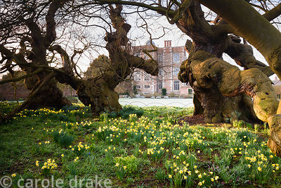Ancient, contorted sweet chestnuts surrounded by sheets of naturalised daffodils at Doddington Hall, Lincolnshire in March
