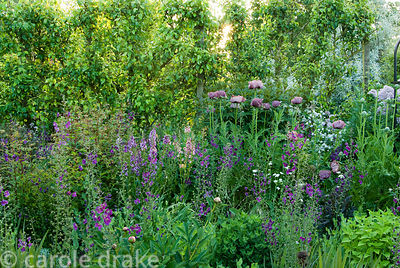 Border of purples and whites includes Papaver orientale 'Patty's Plum', Verbascum phoeniceum 'Violetta', alliums and thalictr...