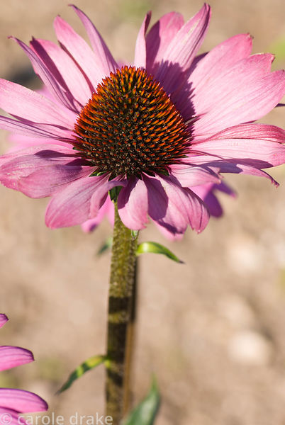 Echinacea 'Elton Knight'. Kingston Maurward Gardens, Dorchester. Dorset, UK