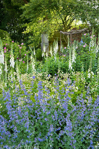 Border planted with  nepeta, bladder campion, Silene vulgaris and white foxgloves. Mindrum, nr Cornhill on Tweed, Northumberl...
