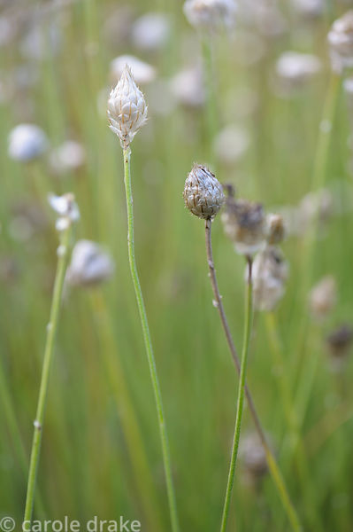 Silvery seedheads of Catananche caerulea
