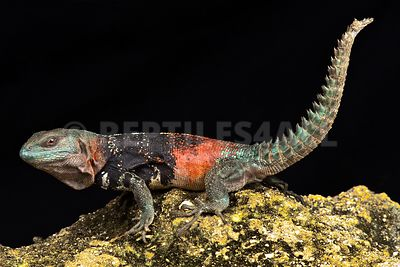 Campeche spiny-tailed iguana (Cachryx alfredschmidti)