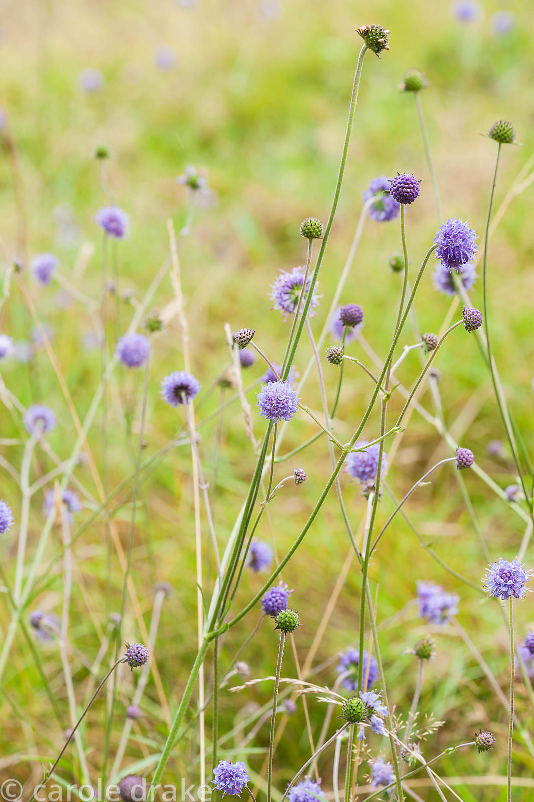 Devil's bit scabious, Succisa pratensis, on a steep slope below the house. Perrycroft, Upper Colwall, Herefordshire, UK