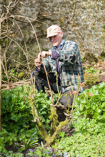 Gardener Michael Legg creating a hazel plant support. Melplash Court, Bridport, Dorset, UK