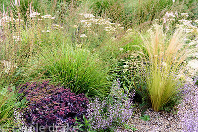 Grasses and herbaceous perennials including Calamintha nepeta subsp. nepeta 'Blue Cloud', purple leaved sedum, Achillea 'Lach...