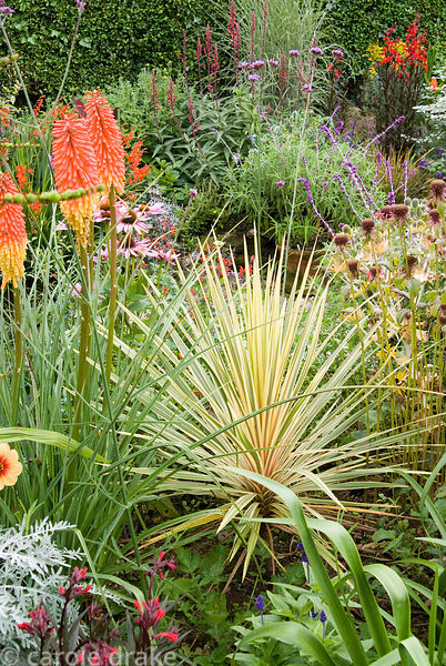 Variegated cordyline amongst kniphofias, echinaceas, Verbena bonariensis and other brightly coloured flowering plants. Poppy ...