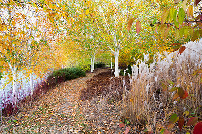 The Birkett Long Millennium Walk where white stemmed birches, Betula utilis var. jacquemontii, and red stemmed cornus, Cornus...
