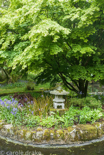 Island planted with Acer palmatum 'Sango-kaku' above stone temple lantern and bluebells. Trewidden, Buryas Bridge, Penzance, ...