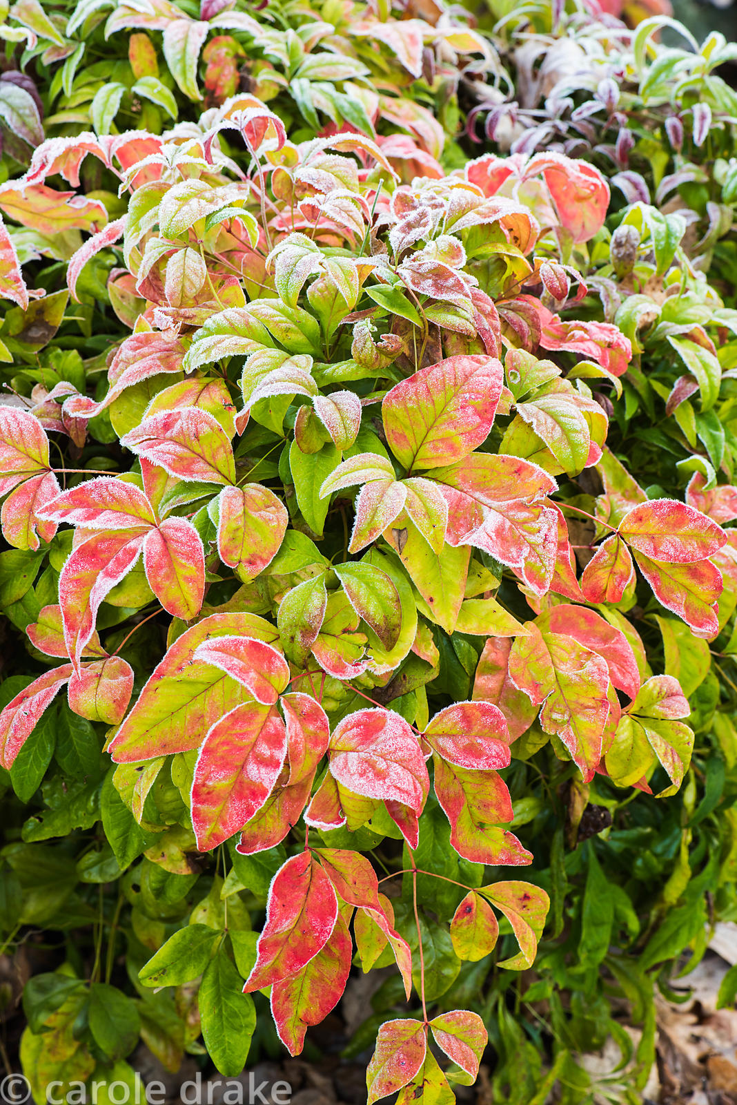 Bright foliage of Nandina domestica