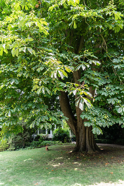 Tour through the house:  Beautiful chestnut tree in the garden