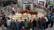 Farmers selling cows and calves at a livestock auction market, Cumbria, UK.