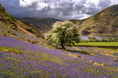 Bluebells at Rannerdale Knotts | Lake District  Photography