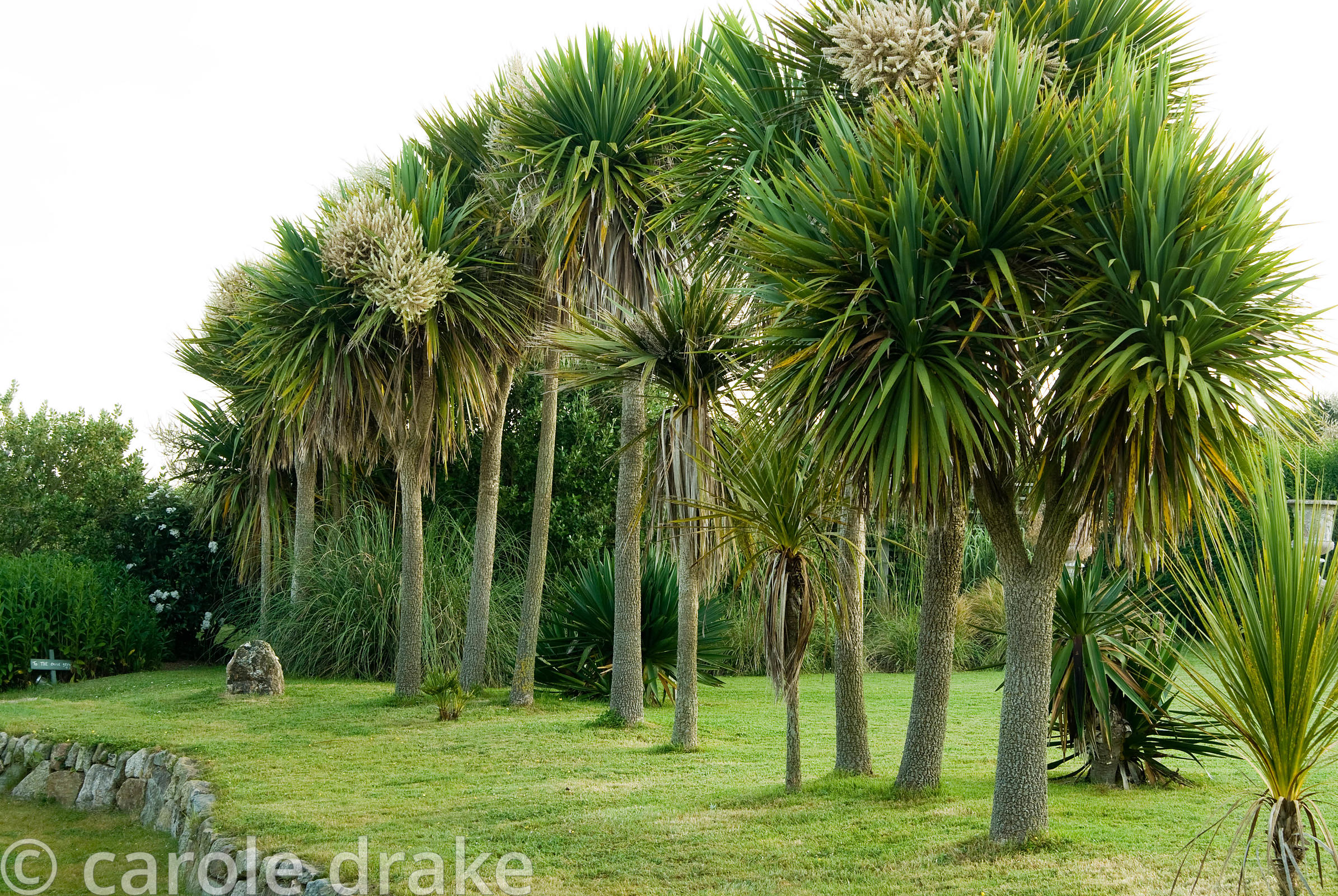 A line of cordylines filter prevailing winds from the garden. Ednovean Farm, Marazion, Cornwall, UK