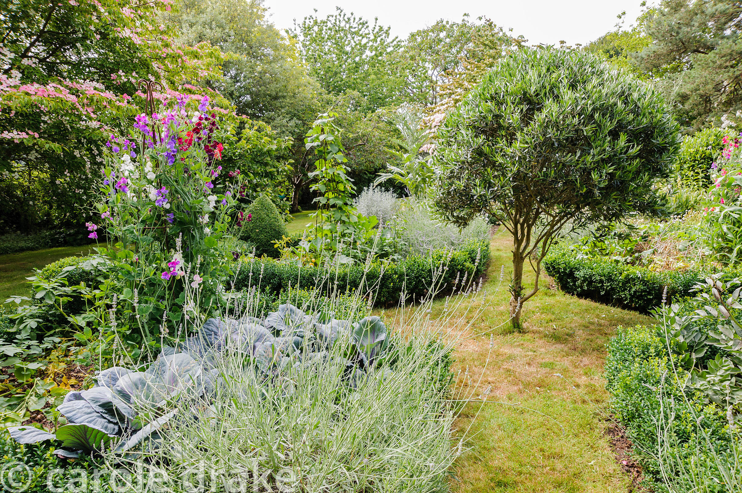 Decorative vegetable garden with box edged beds, lavender and sweet peas growing up metal obelisks.