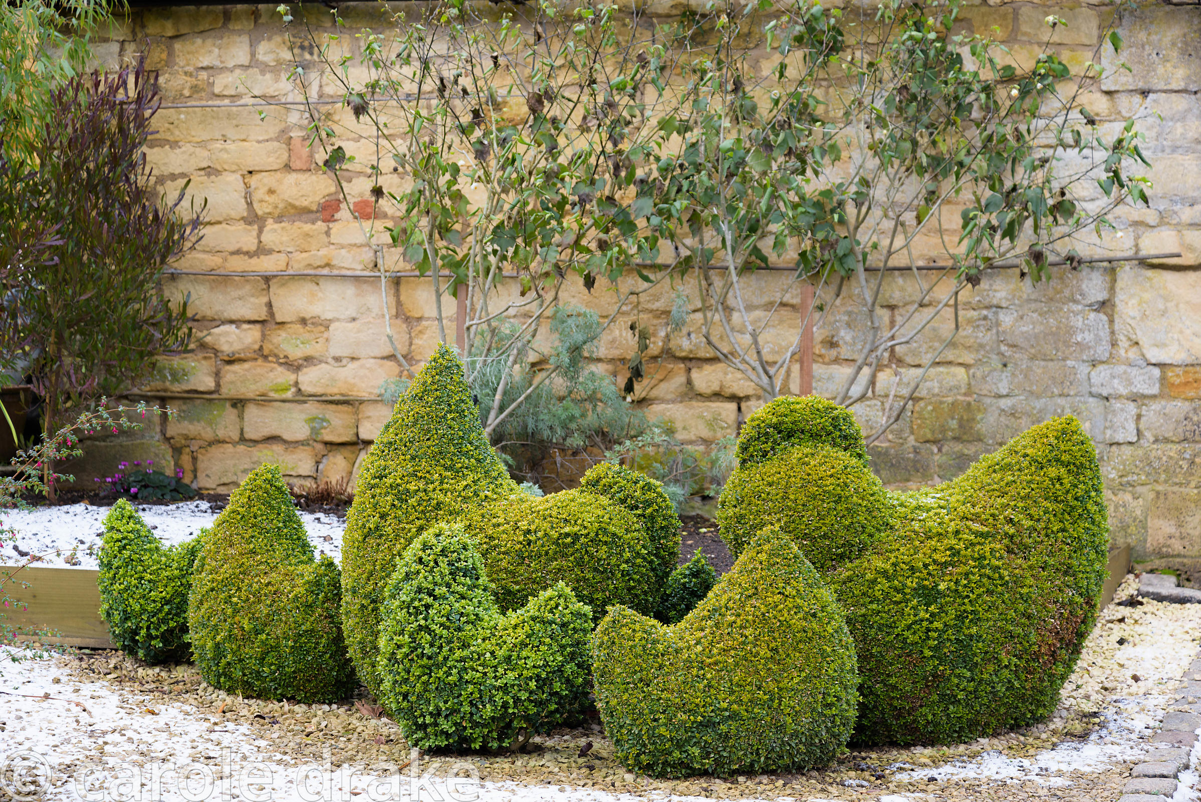 A group of topiary box hens at Bourton House garden in the Cotswolds in January