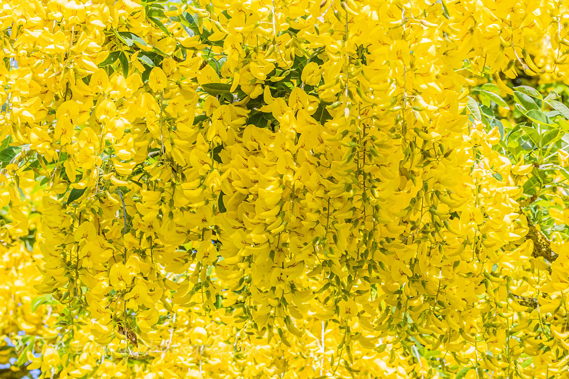 Laburnum tree in bloom