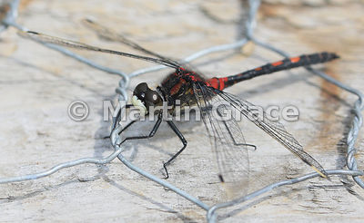 White-Faced Darter (Small Whiteface) dragonfly male (Leucorrhinia dubia) on wire-covered boardwalk, Foulshaw Moss, Cumbria, E...