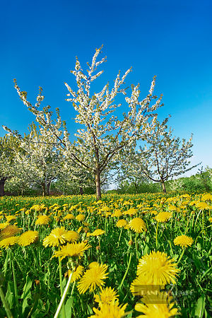 Cherry plantation with dandelions (lat. prunus) - Europe, Germany, Bavaria, Upper Franconia, Forchheim, Ebermannstadt, Moggas...
