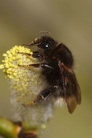 Bombus hypnorum, queen