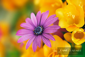African daisy and freesias (lat. osteospermum) - Europe, Greece, Crete, Chania, Kandanos, Plemeniana - digital