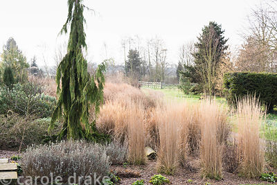 Border of grasses and conifers including upright Calamagrostis x acutiflora 'Karl Foerster' and fastigiate Chamaecyparis noot...