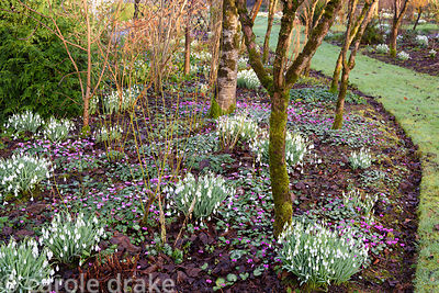 An avenue of Salix alba var. vitellina 'Britzensis' underplanted with snowdrops and Cyclamen coum interspersed with cornus at...