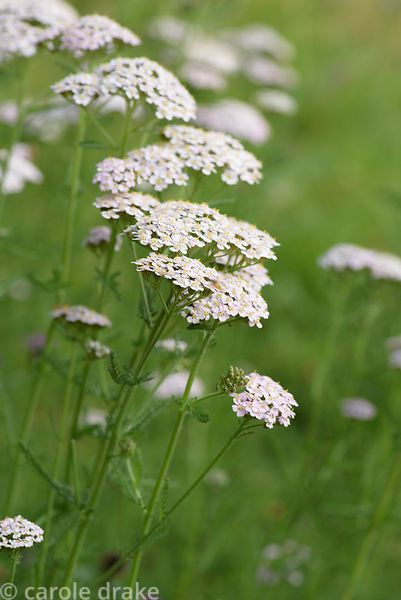 Pale pink achillea at Five Oaks Cottage, Sussex in July