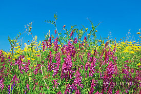 Tufted vetch and yellow chamomiles (lat. vicia cracca) - Europe, Italy, Sardinia, Olbia-Tempio, Olbia, north of - digital