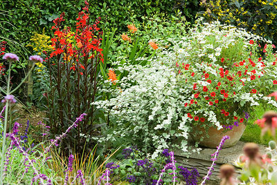 Lobelia cardinalis 'Queen Victoria' beside container of helichrysum and other container plants. Poppy Cottage Garden, Roselan...