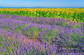 Lavender and sunflowers (lat. lavandula) - Europe, France, Provence-Alpes-Cote d'Azur, Alpes-de-Haute-Provence, Forcalquier, ...