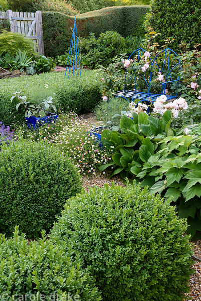 Blue metal seat and obelisks in the front garden surrounded by clipped box, Rosa 'Penelope', bergenias and Erigeron karvinski...