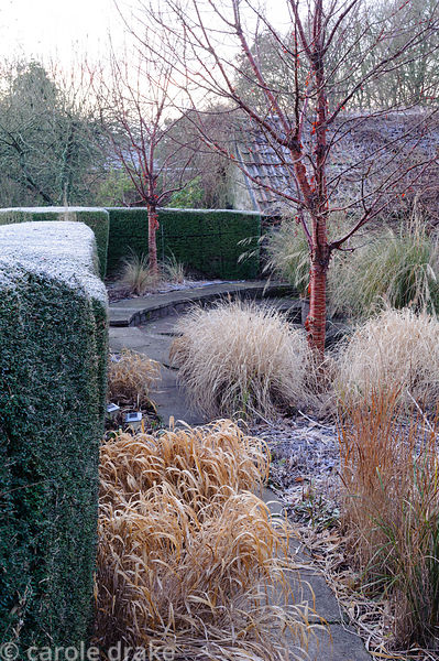 A variety of grasses surround Prunus serrula including Hakonechloa macra in the foreground and Pennisetum alopecuroides 'Blac...