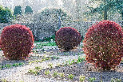 Walled kitchen garden dominated in early spring by the new growth of the four Berberis thunbergii f. atropurpurea 'Harlequin'...