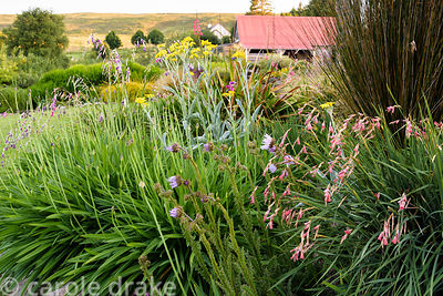 Dieramas, Burkheya purpurea, agapanthus, restios and senecio in the garden at 2 Durnamuck, Little Loch Broom, Wester Ross in ...