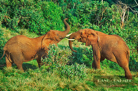 African elephant  (lat. loxodonta africana) - Africa, Kenya, Central, Aberdare Range, Salient, The Ark - scan