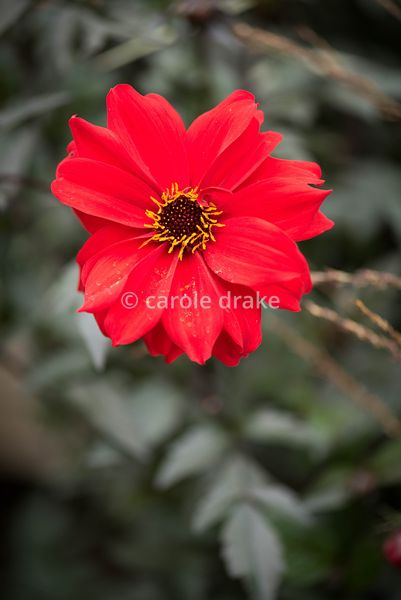 Dahlia 'Bishop of Llandaff' in September