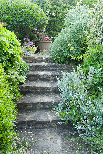 Steps leading up to the kitchen framed by phlomis, Brachyglottis 'Sunshine' and Geranium palmatum. Private garden, Dorset, UK