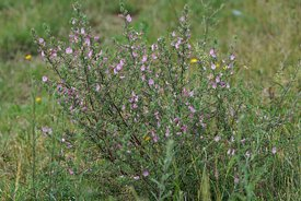 Pink flowers of the common restharrow or Ononis repens in a grassland